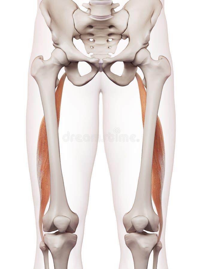 Den femoris longusen för biceps vektor illustrationer