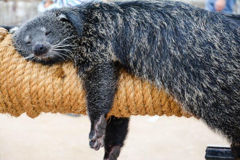 Den feta björnen Binturong som pleasantly och bekvämt sover på hans leksak i en fin dag arkivfoton