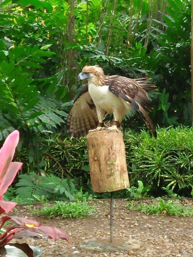 Den filippinska Eagle royaltyfri bild