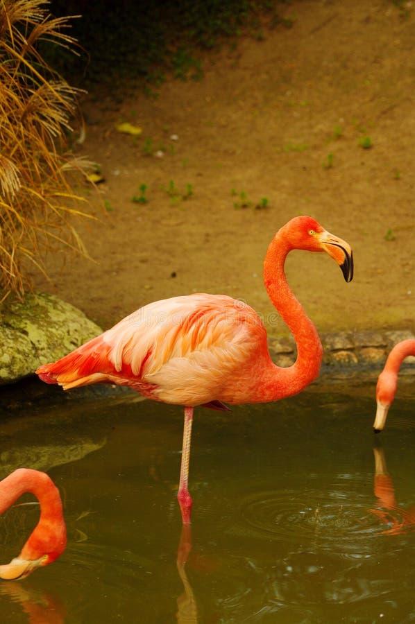 den flamingoluisemannheim parken steg fotografering för bildbyråer