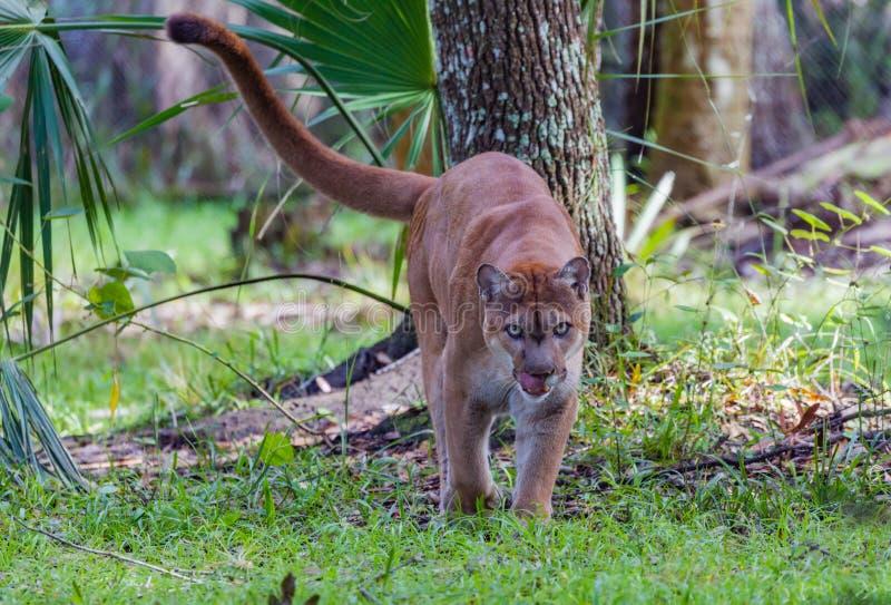 Den Florida pantern går in mot kamera som slickar kanter arkivfoton