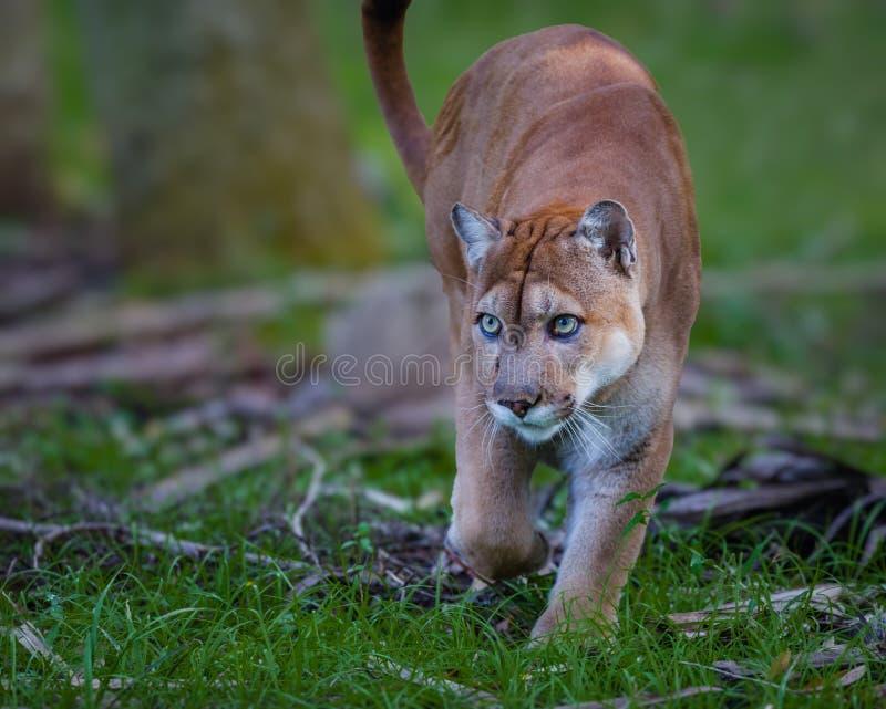 Den Florida pantern, kuguar eller puman, går till och med borsten, som den förföljer dess rov royaltyfri foto