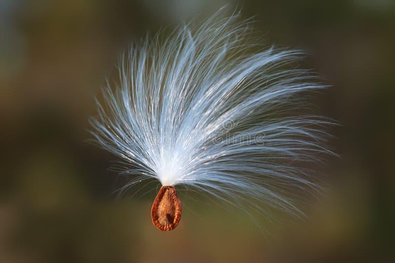 den flottörhus milkweeden kärnar ur wind royaltyfria foton