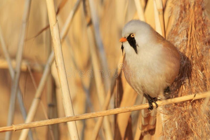 Den fluffiga fågeln med en mustasch sitter ett ben på busksnåret av rottingen royaltyfria bilder