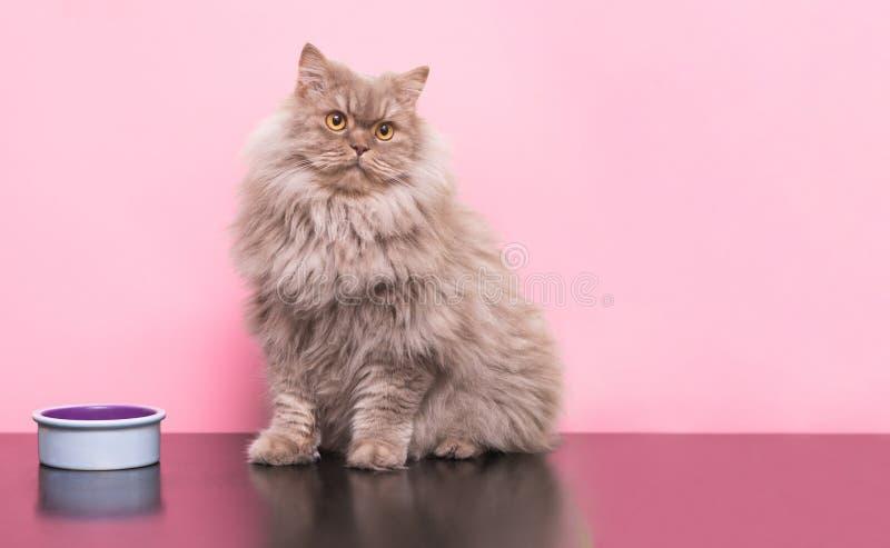 Den fluffiga gråa vuxna katten sitter på en rosa bakgrund med en djur maträtt och blickar till sidan royaltyfria foton