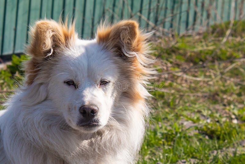 Den fluffiga hunden ser framåtriktat Härlig hängiven liten byracka arkivfoto