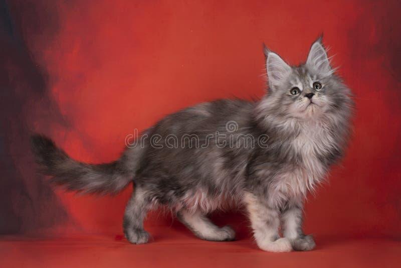 Den fluffiga katten Kuril kuperar på en ljus röd bakgrund royaltyfri bild