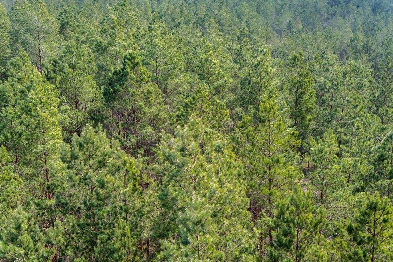 Den flyg- sikten av europén sörjer trädskogen på en solig dag Sörja trädmodellbakgrund som bevarar trän arkivfoto