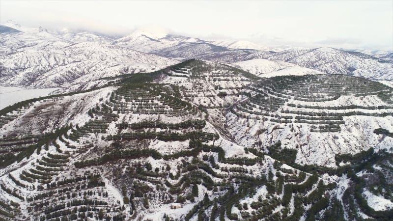 Den flyg- sikten av snö täckte träd som växer i rader i högt berg på bakgrund för molnig himmel skjutit Bedöva landskap av arkivfoto