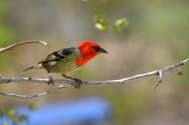 Download Den fody Mascarenen arkivfoto. Bild av mauritius, inföding - 37349544