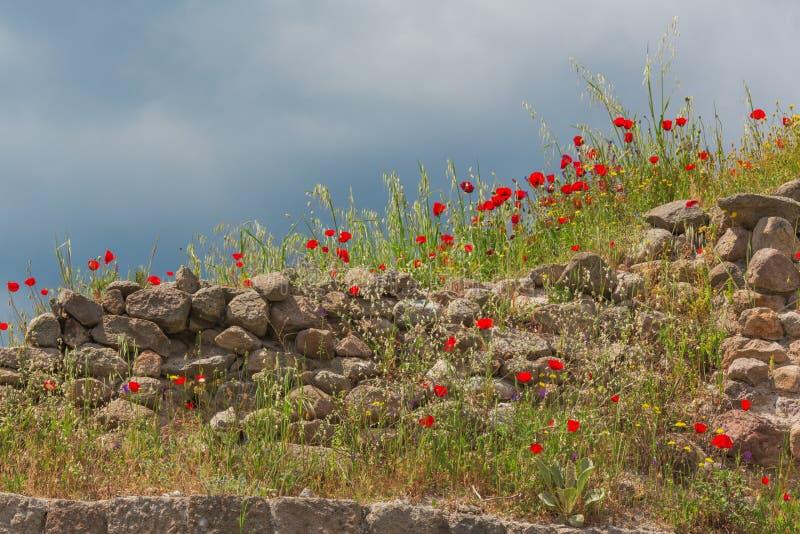 Den forntida stenväggen med att blomma röda vallmo blommar royaltyfri bild