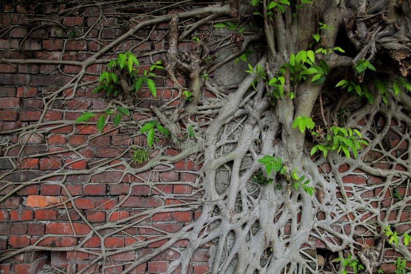 Den forntida tegelstenväggen med trädet rotar och nytt liv arkivbild