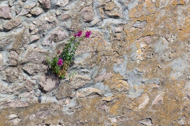 Den forntida väggen som göras av naturligt, vaggar med frowers mellan kvarter arkivfoto