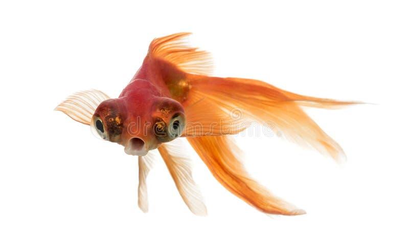 Den främre sikten av en guldfisk i vatten islolated på vit fotografering för bildbyråer