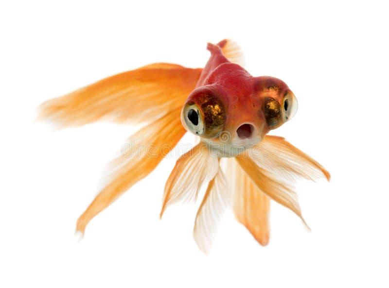 Den främre sikten av en guldfisksimning islolated på vit arkivfoton
