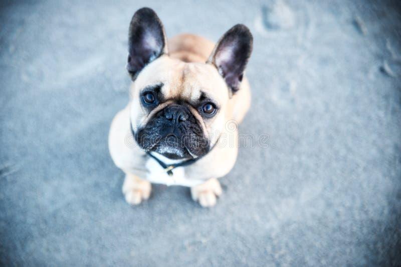 Den franska bulldoggen är en gullig hund royaltyfria bilder