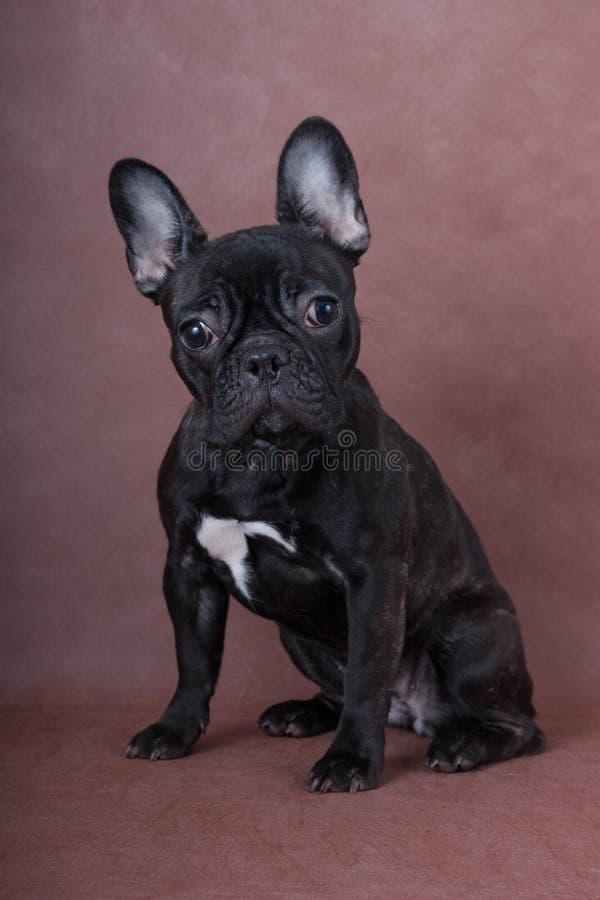 Den franska bulldoggen för valpen sitter royaltyfri bild