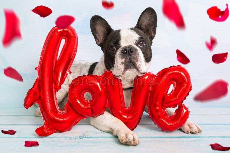 Den franska bulldoggen med förälskelseformballongen och att falla steg kronblad arkivbilder