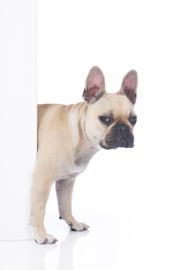 Den franska bulldoggen ser runt om hörnet royaltyfria bilder