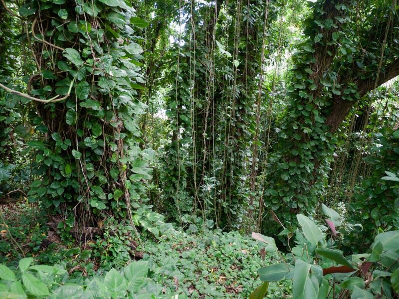 Den frodiga djungeln gillar vegetation Maui Hawaii royaltyfria foton