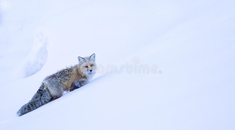 Den frostiga räven klättrar kullen i djup snö royaltyfria bilder