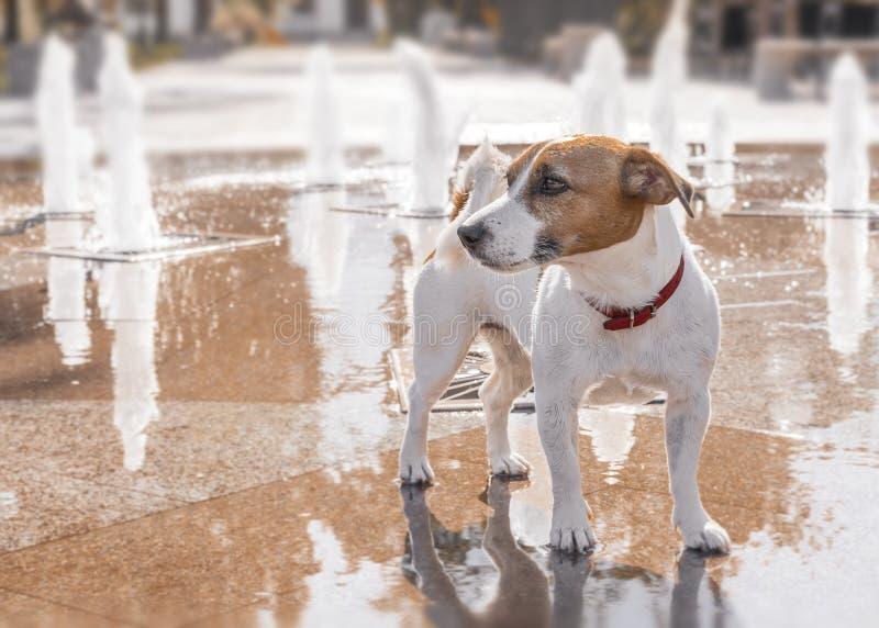 Den fullblods- hunden Jack Russell Terrier i stadssommaren parkerar på bakgrunden av springbrunnen royaltyfri bild