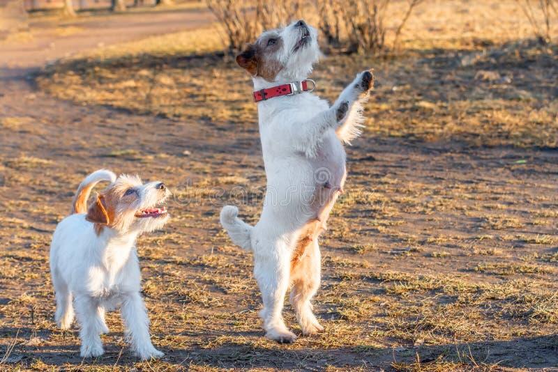 Den fullblods- Jack Russel Terrier två hunden i naturen på gräs parkerar utomhus vårdag r royaltyfria bilder