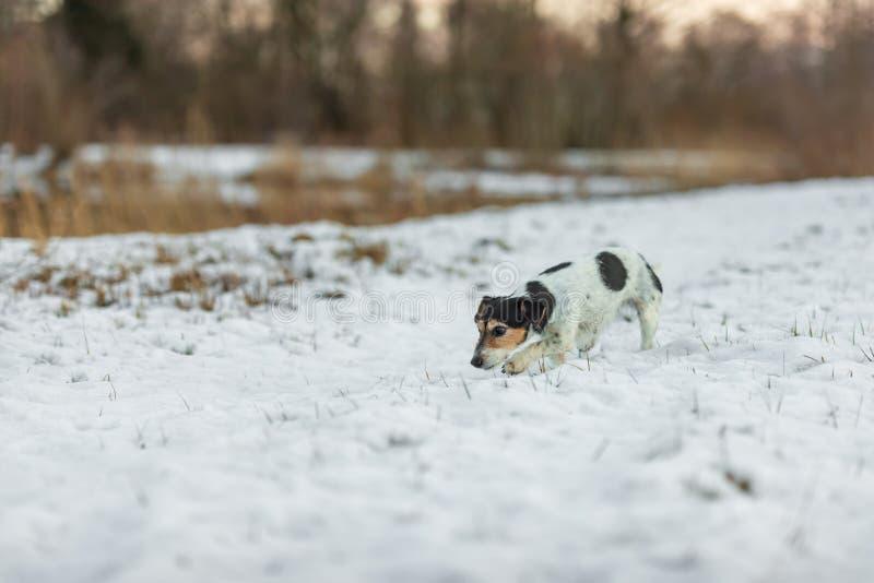 Den fullblods- tricolor Jack Russell Terrier näsan följer ett spår i den snöig vintern fotografering för bildbyråer