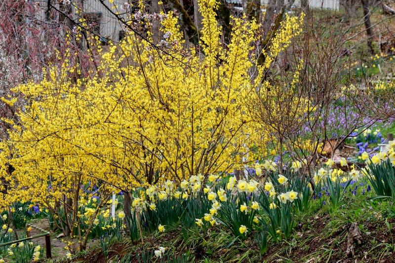 Den Funaoka slotten fördärvar parkerar, Shibata, Miyagi, Tohoku, Japan på April 12,2017: Gul forsythia, gula påskliljor och blå d royaltyfri foto