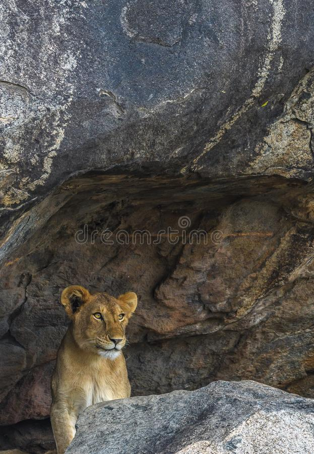 In the Den: Future Jungle King royalty free stock photos
