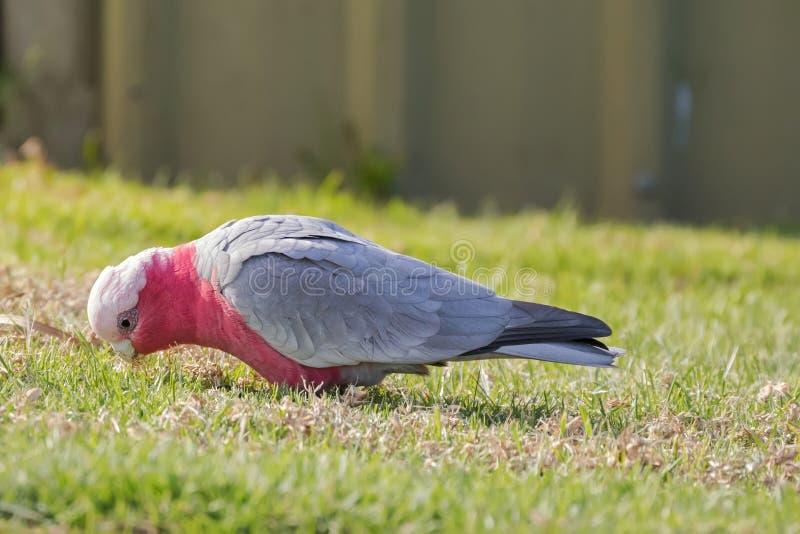 Den Galah fågeln, ros gick mot kakaduan, roseate fågel med blek silve arkivfoton