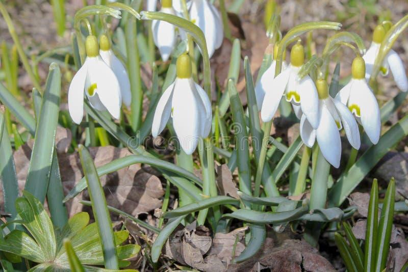 Den Galanthus snödroppen blommar i vår royaltyfri foto