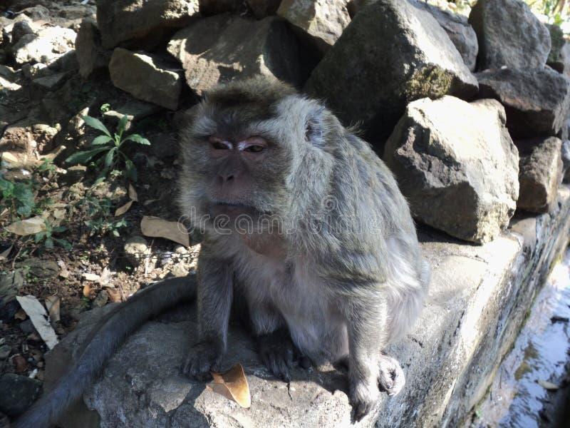 den gamla apan är att sitta som är avkopplat under ett träd arkivfoton