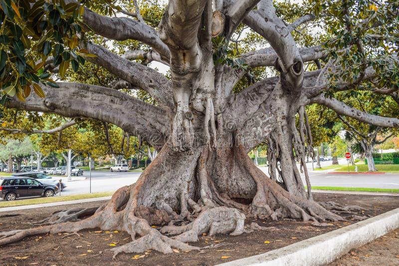 Den gamla fikus för Moreton fjärdfikonträd har formligen fullvuxet med Beverly Hills genom åren arkivbilder