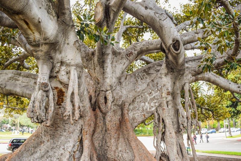 Den gamla fikus för Moreton fjärdfikonträd har formligen fullvuxet med Beverly Hills genom åren royaltyfri fotografi