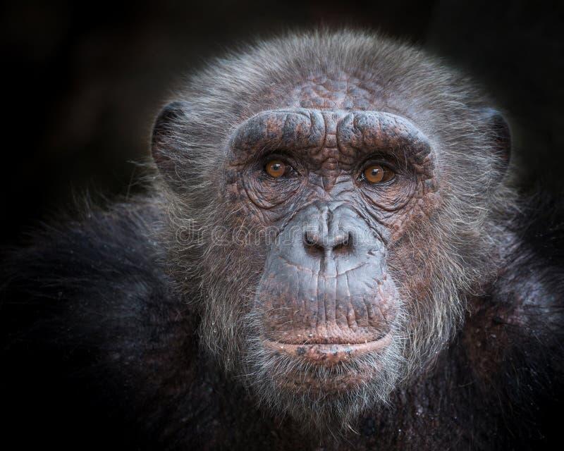Den gamla framsidan av en schimpans royaltyfri fotografi