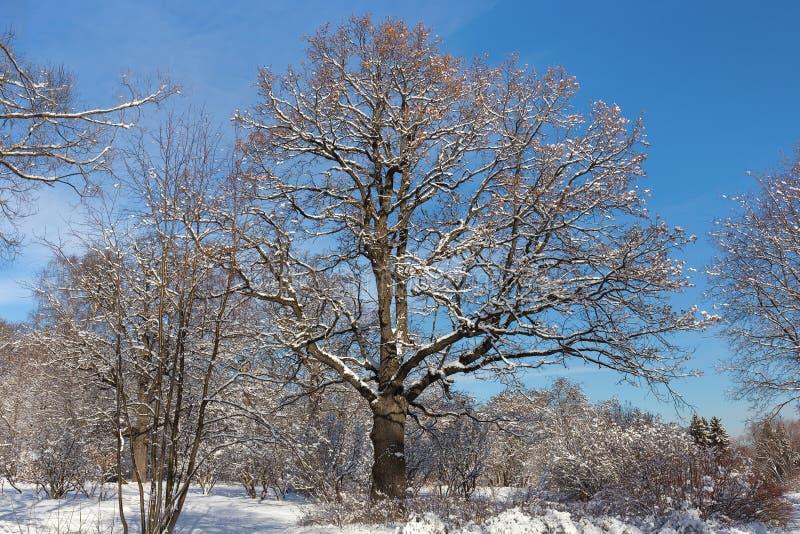 Den gamla, månghundraåriga fördelande eken i Moskvastaden parkerar Trees i snow Vinter som är solig fotografering för bildbyråer