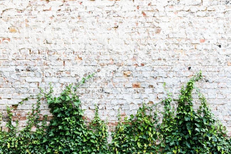 Den gamla och red ut grungy tegelstenväggen målade i vit med den gemensamma murgrönan eller den engelska murgrönan, Hederaspiral fotografering för bildbyråer