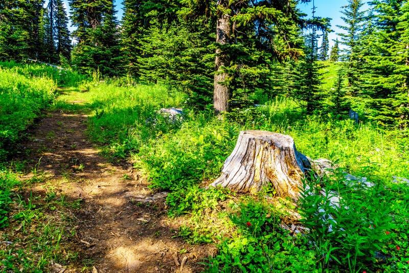 Den gamla trädstubben på Tod Mountain nära byn av solen når en höjdpunkt i F. KR. Kanada royaltyfria bilder