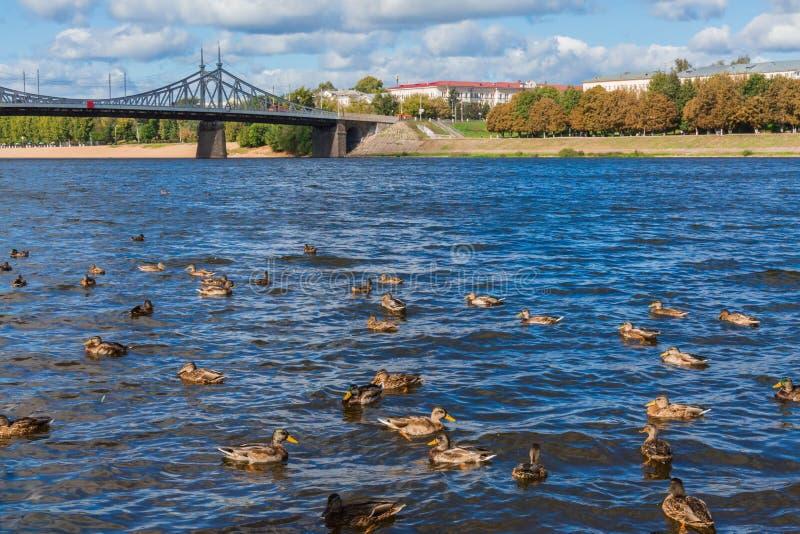Den gamla Volga bron i Tver, Ryssland Löst gräsandandbad i floden Solig dag för höst arkivfoto