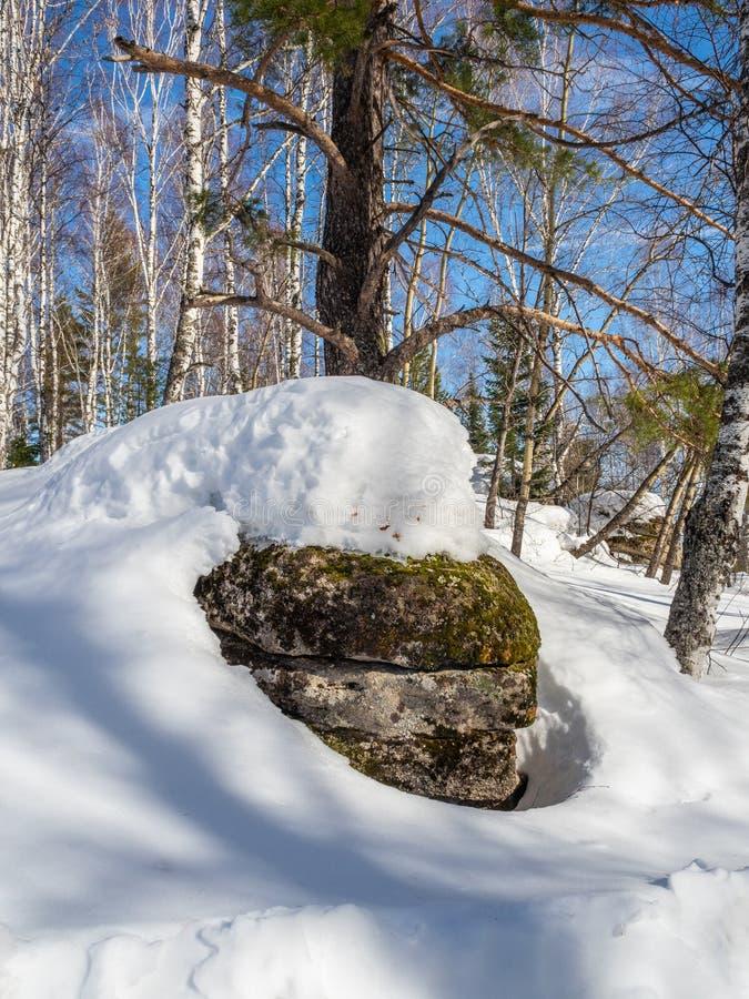 Den gammal stenen som täckas med grön mossa och vit snö och, sörjer i skogen i Altai, Ryssland arkivbild
