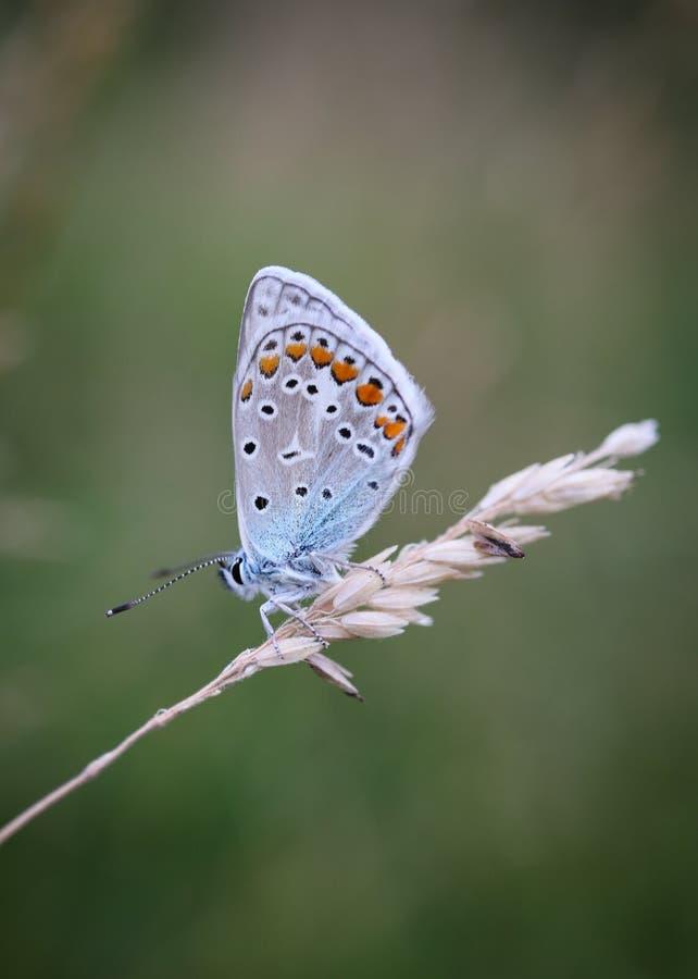 Den gemensamma blåa fjärilen, Polyommatus icarus är en fjäril i familjlycaenidaen och subfamilyen Polyommatinae arkivfoto