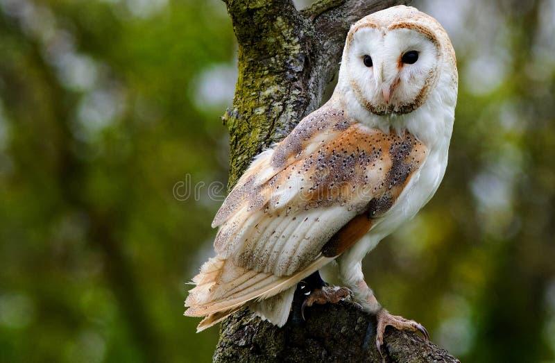 Den gemensamma brittiska ladugårdugglan sätta sig i ett träd med en naturlig skogsmarkbakgrund royaltyfria foton