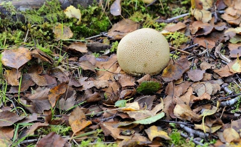 Den gemensamma Earthball svampen på bladmarkisen av skurar skogsmark royaltyfri fotografi