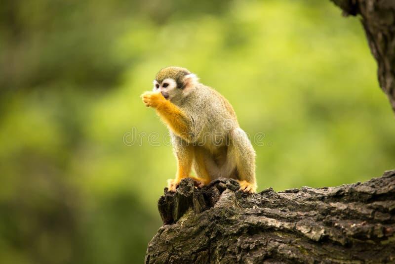 Den gemensamma ekorreapan, Saimirisciureus är den mycket rörande primatet arkivfoton