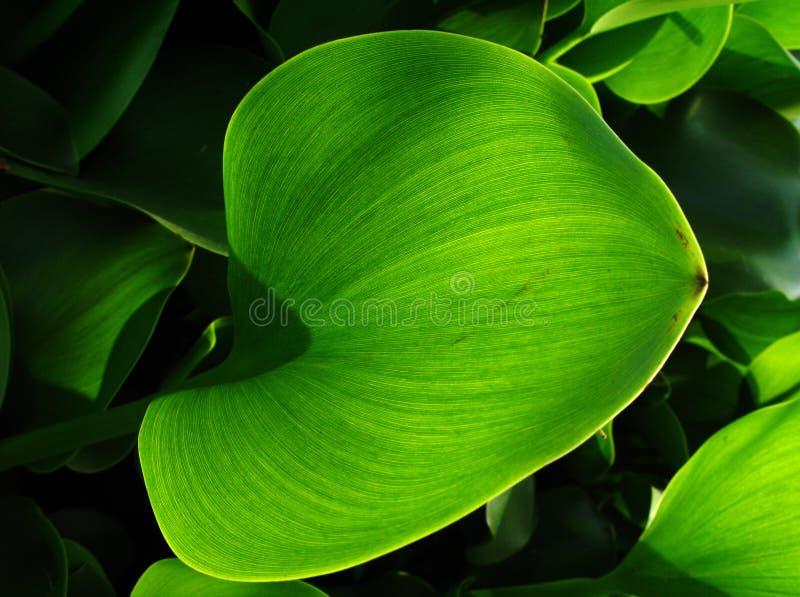 den gemensamma hyacintet låter vara vatten royaltyfri fotografi
