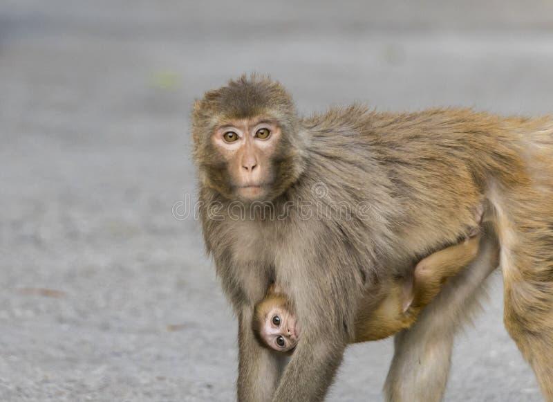 Den gemensamma indiska apan, rhesusapamacaquen som bär henne för att behandla som ett barn att stirra på kameran soulfully hoppas fotografering för bildbyråer