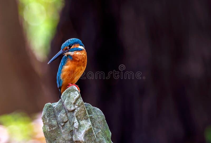 Den gemensamma kungsfiskarefågeln på stenar filialbakgrund fotografering för bildbyråer