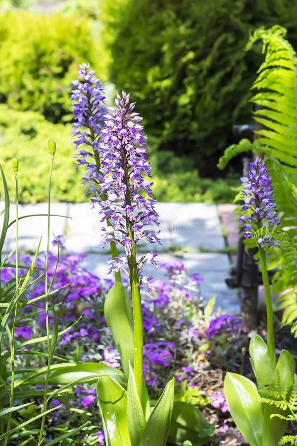 Den gemensamma Orchisen (Orchis militаris) är en örtartad perenn royaltyfri foto