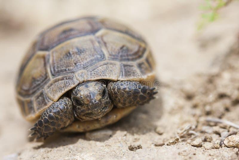 Den gemensamma sköldpaddaTestudograecaen eller bekant som grekisk sköldpadda, eller sporra-thighed sköldpaddan, är också en av de royaltyfria foton